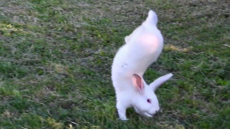 Vzácné plemeno králíků chodí po předních, vědci konečně zjistili proč