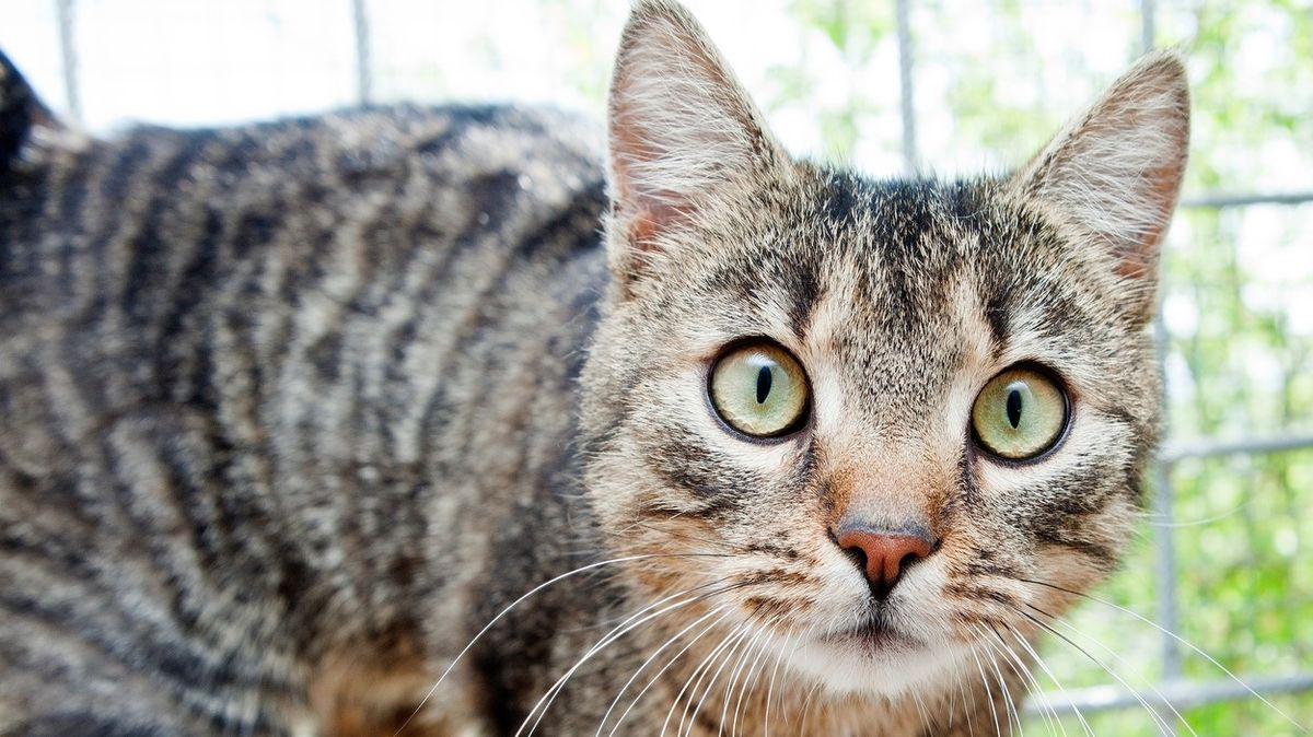 Britové chtějí povinně čipovat kočky, za odmítnutí by hrozila pokuta