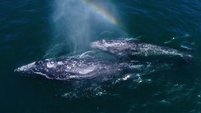 Velryby vytvořily nad hladinou duhu
