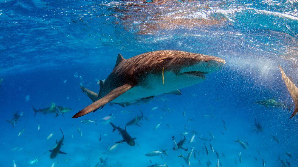 Kapitán turistické lodi skočil na žraloka