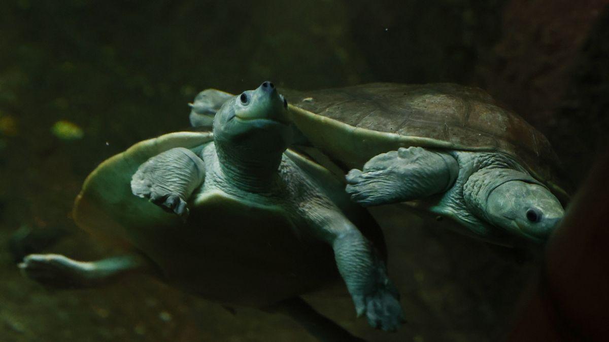 Vzácné želvy v pražské zoo mají neustále úsměv na tváři