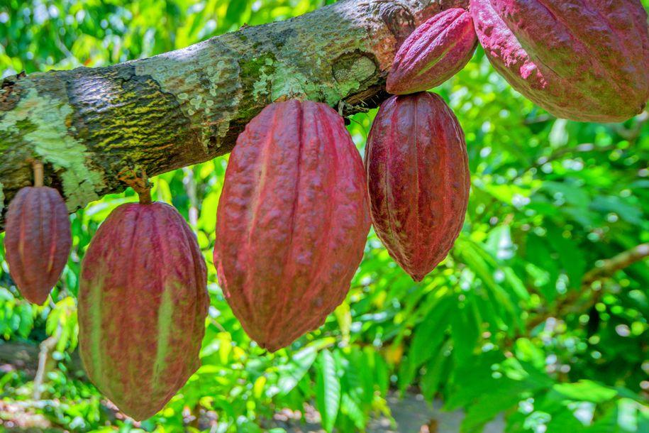 Kakaovník v Kamerunu na ilustrační fotografii
