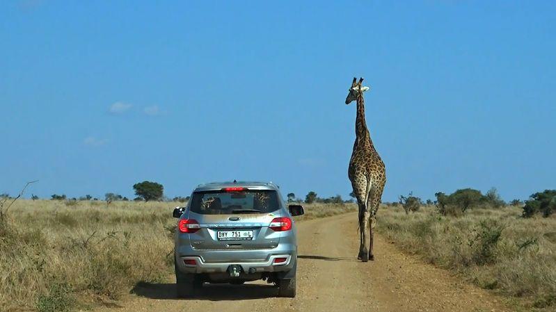 Žirafa v safari parku způsobila dopravní zácpu