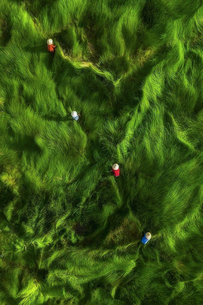 Sklizeň trávy (Vietnam) - Doporučeno v kategorii Lidé. Ženy sklízejí trávu. Za se může použít jako krmivo, hnojivo nebo zvlhčovač jiných rostlin. Ve větru a slunci jsou traviny jako vlny a zvýrazňují kuželovité klobouky žen.