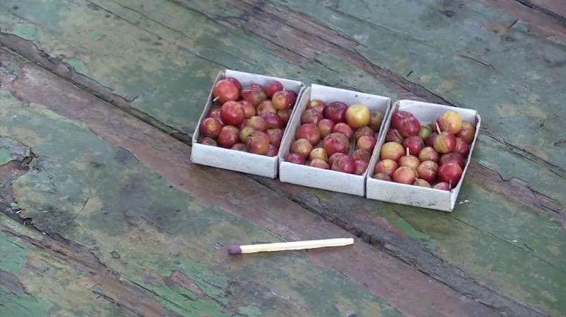 Sibiřský zahradník sklízí jablka velikosti perel