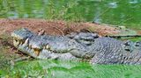 Krokodýl mu ukousl prsty na nohou, bolest zaháněl pivem